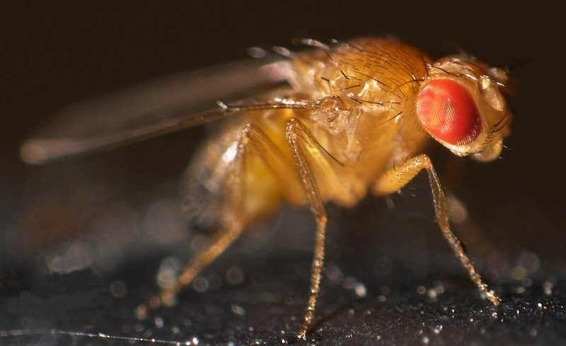 Fruit fly study reveals a toxic relationship between lead and immunity