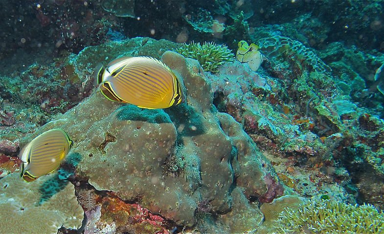 Melon butterflyfish on reefs