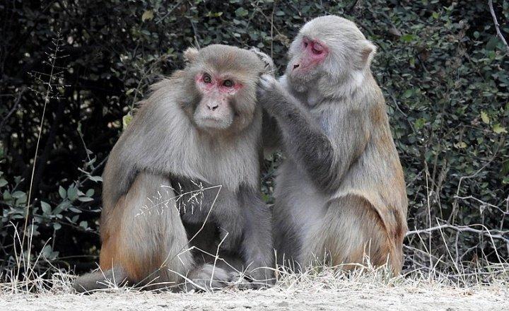 Rhesus macaque - Macaca mulata