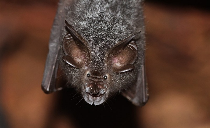 Rhinolophus beddomei, one of the horseshoe bats detected in low numbers in the current study.