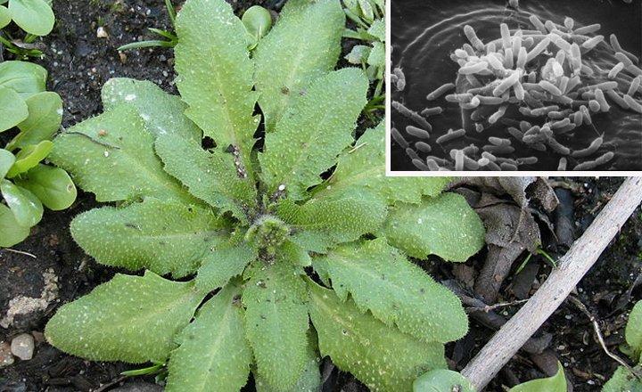Arabidopsis thaliana leaves; Inset: Pathogens (Pseudomonas) entering Arabidopsis leaves
