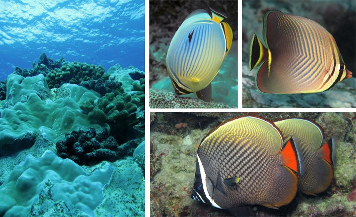 Reefscape and butterflyfish