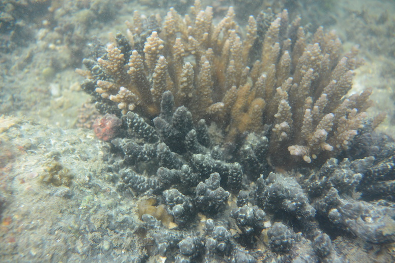 Corals in Palk Bay regain their natural form and colour (brown) when placed under a hood. Part of the coral is still infected (black).