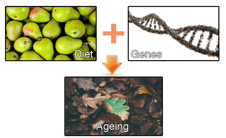 Genes and diet pair up to regulate lifespan