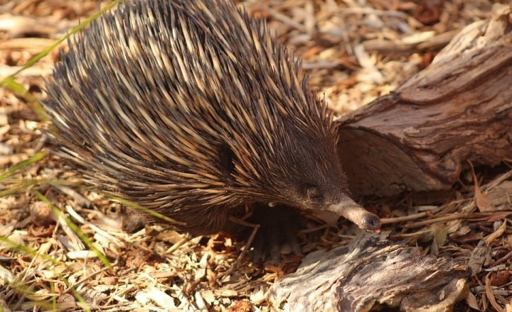 Fighting superbugs using echidna milk
