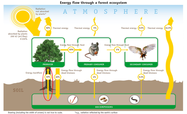 Incorrect diagram of energy flow through a forest ecosystem