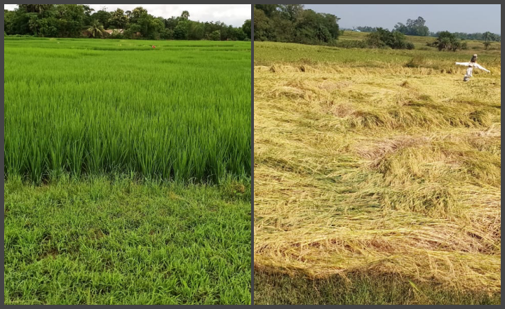 Crop field: Before and after Cyclone