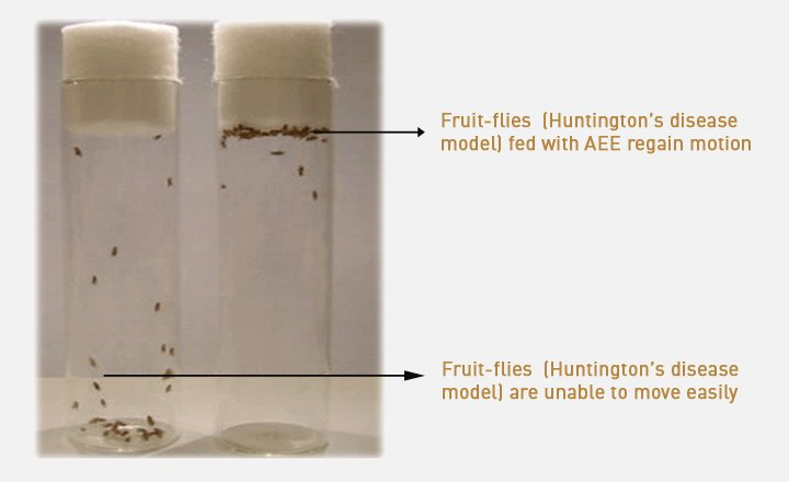 (Left) fruit flies from an HD model unable to move (Right) the flies regain movement when fed with AEE