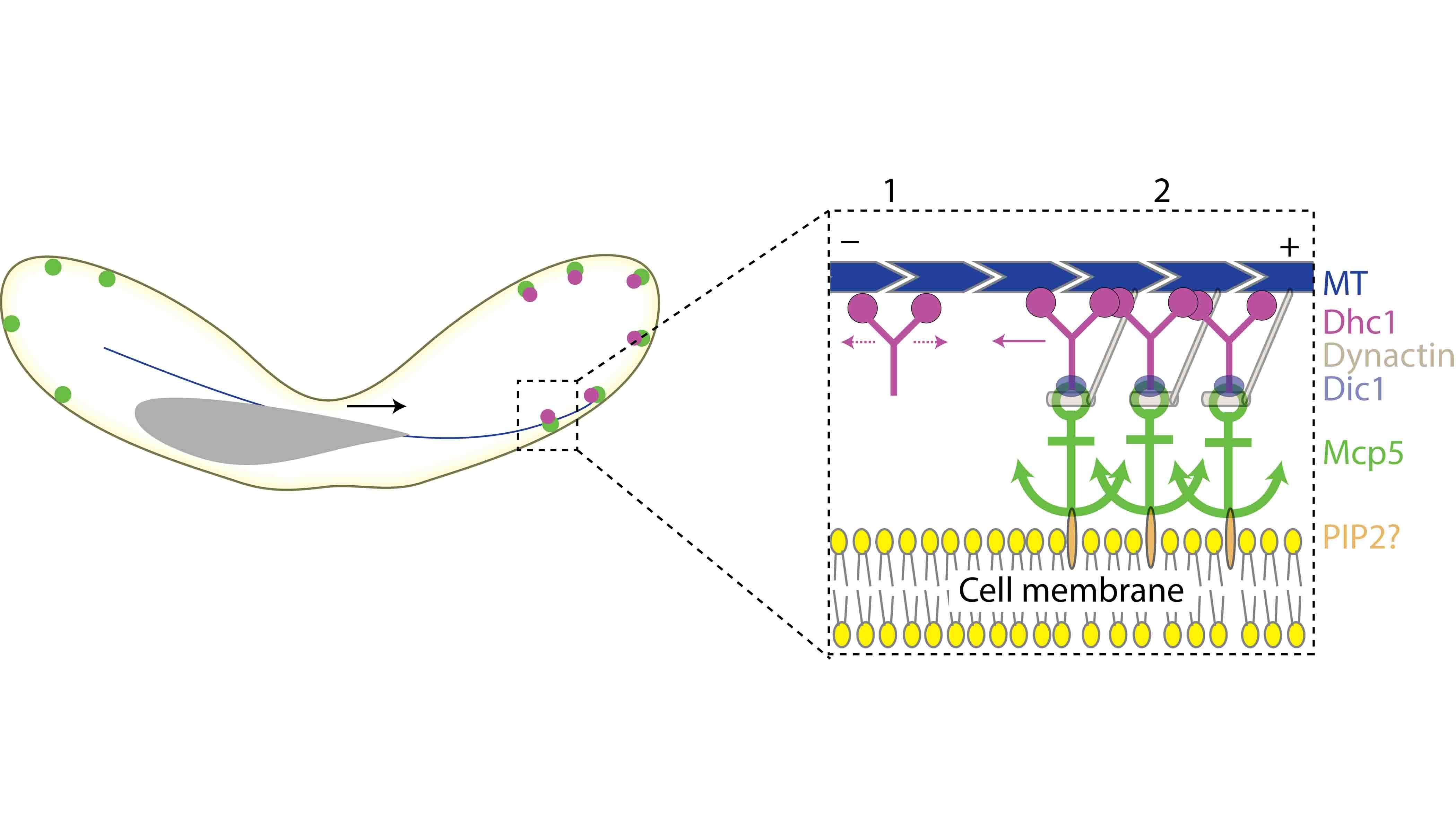 Illustration depicting binding of dynein to the cell membrane via Mcp5 (green) and PIP2 (grey)