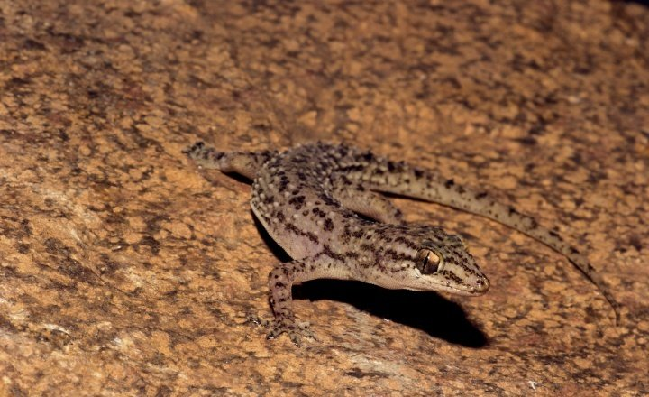 Evolution of Geckos linked with past climatic conditions