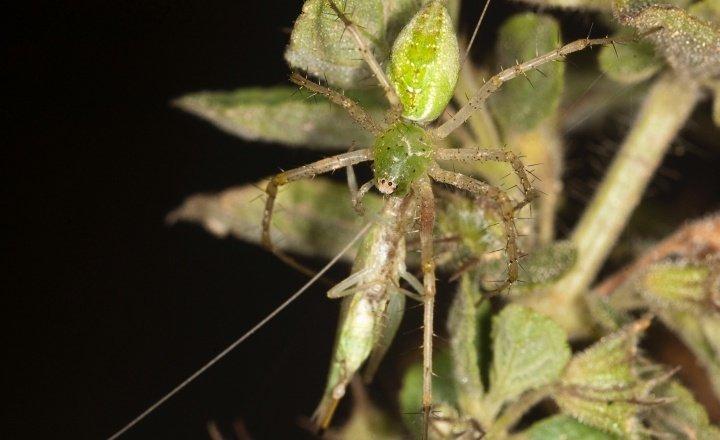 Lynx spider attacking tree cricket