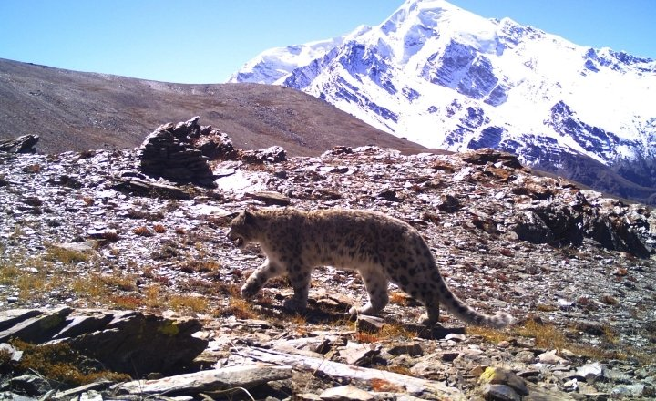 Snow Leopard in the basin
