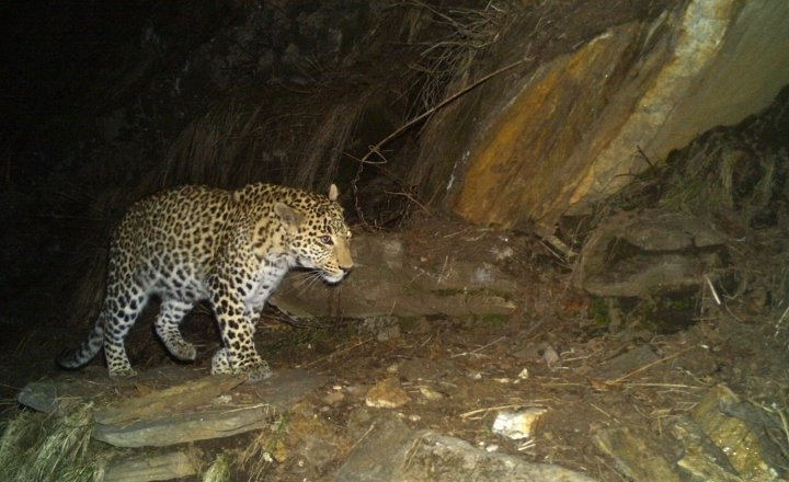 Common Leopard in the basin capture in the camera trap