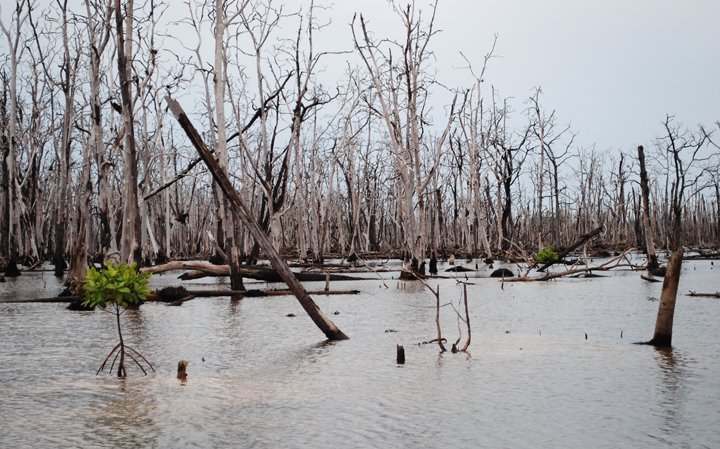 Colonization of mangroves in new habitats following the 2004 Tsunami