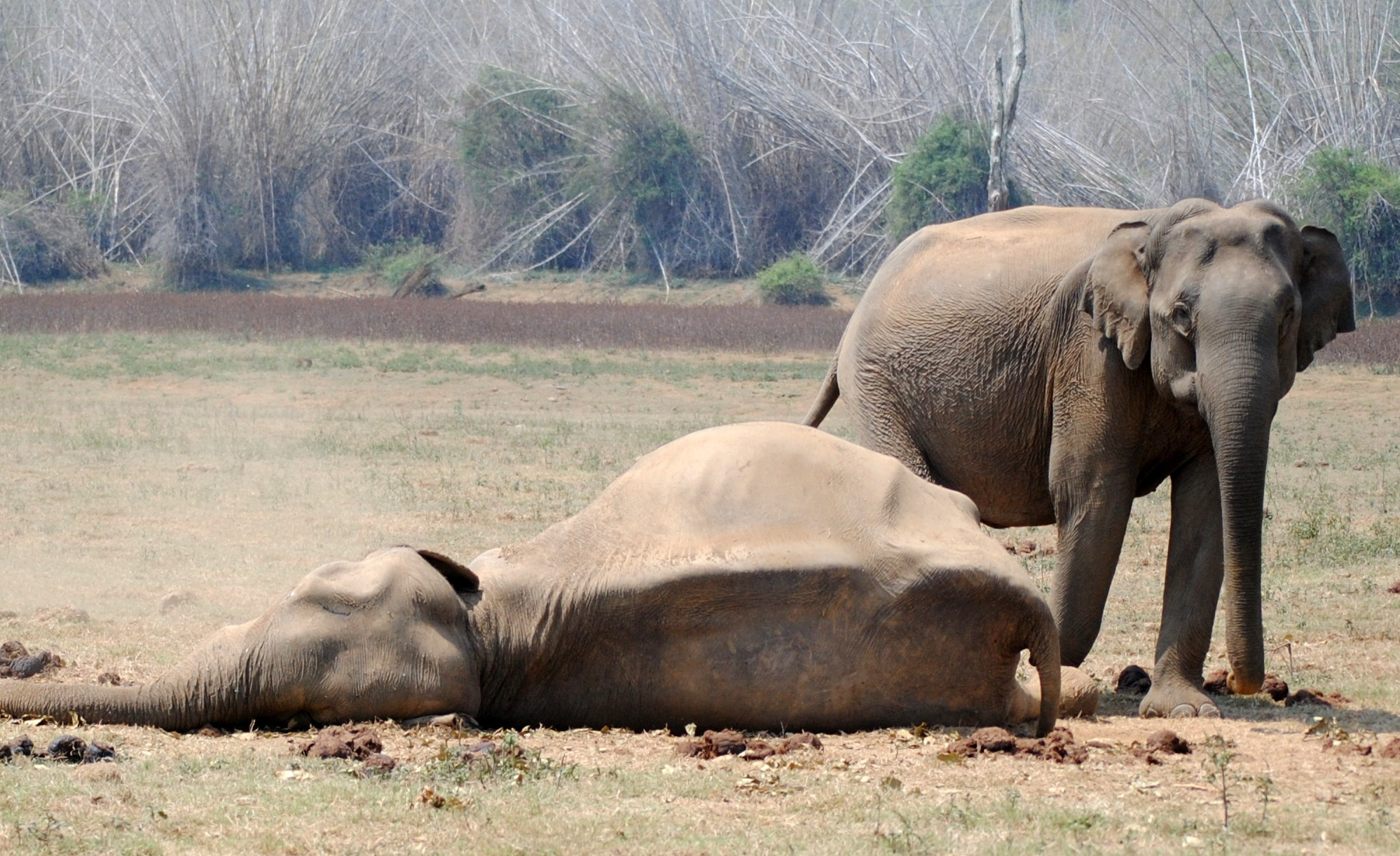 An elephant matriarch with an old female