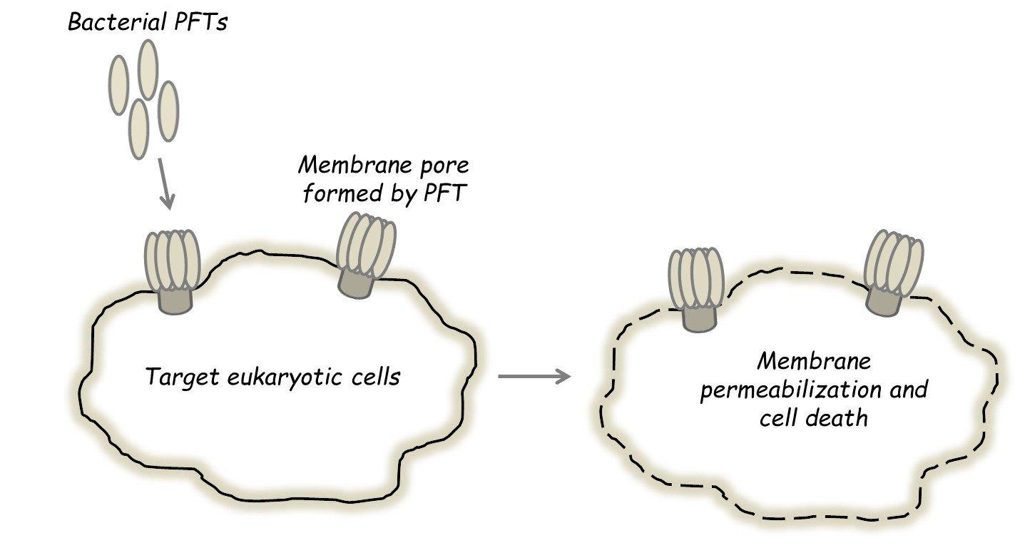 Bacterial Pore Forming Toxins (PFT)