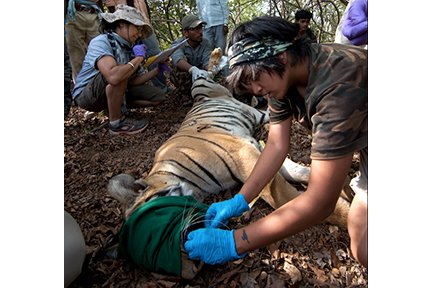 Pallavi Ghaskadbi examining canines of a tiger in Brahmapuri forest division, Maharashtra.