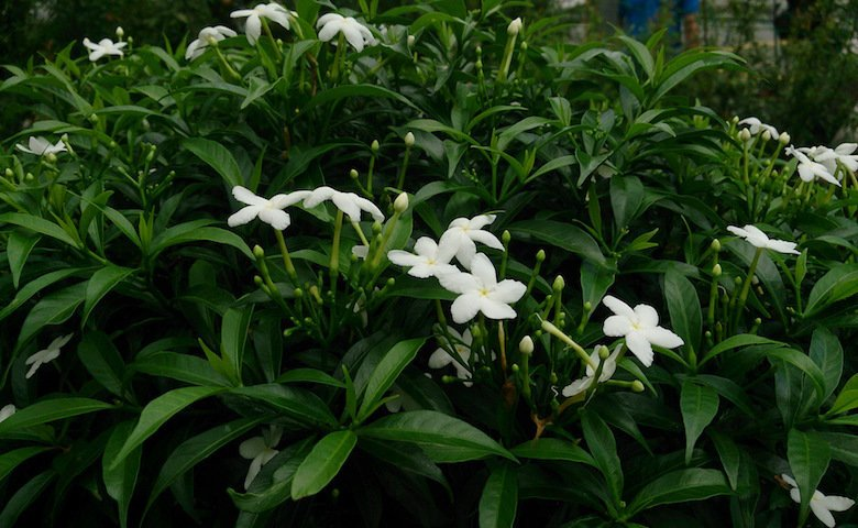 Crepe Jasmine shrub which is the source of voacamine