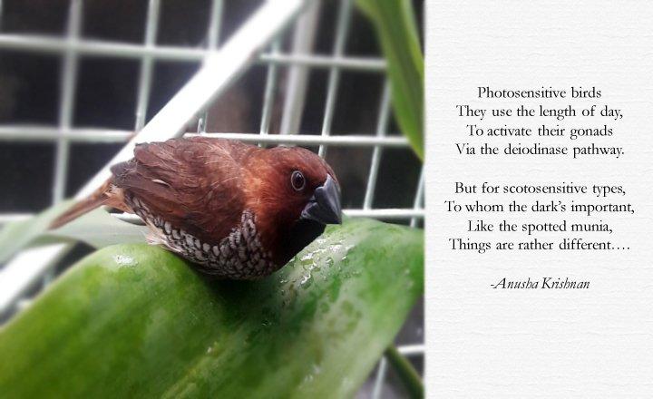Spotted Munia (Lonchura punctulata)