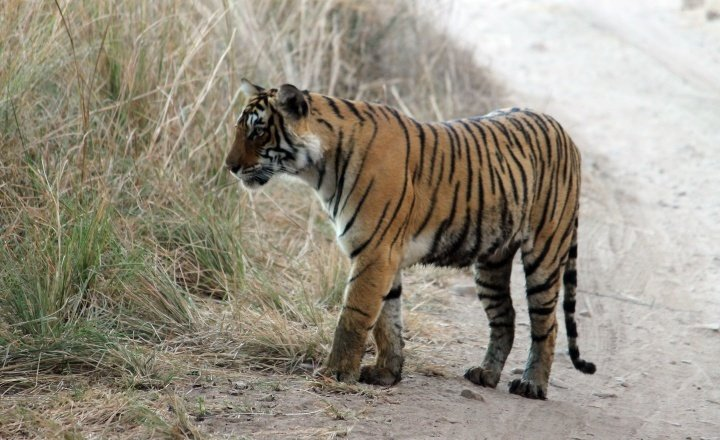 A female tiger on a forest trail in Ranthambore (Photo: Abhinav Tyagi)