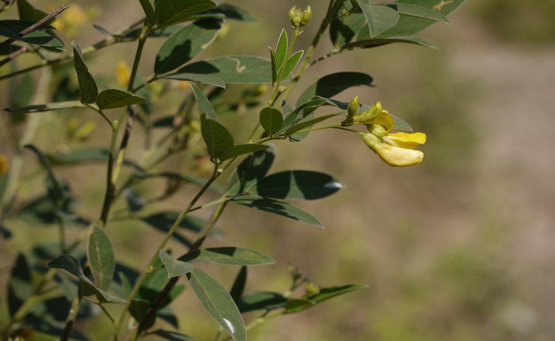 Pigeonpea plant