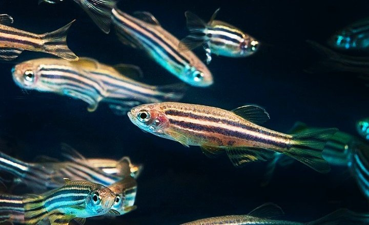 ​Zebrafish may hold the key to restoring lost vision