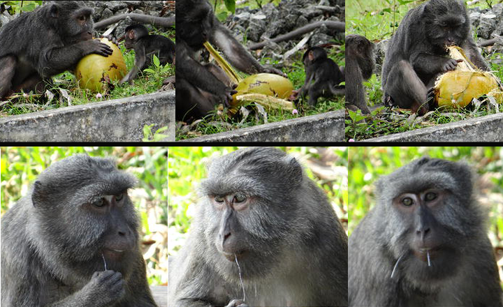 Nicobar long-tailed macaques dehusking a coconut (top panel) and flossing (bottom panel)