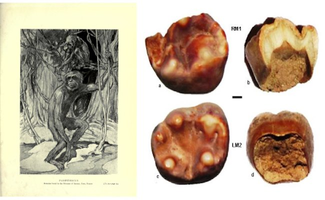 Left: Illustration of Pliopithecus, Right: Fossilised molars from Haritalyanagar, Himachal Pradesh