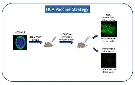 HCV Vaccine Strategy