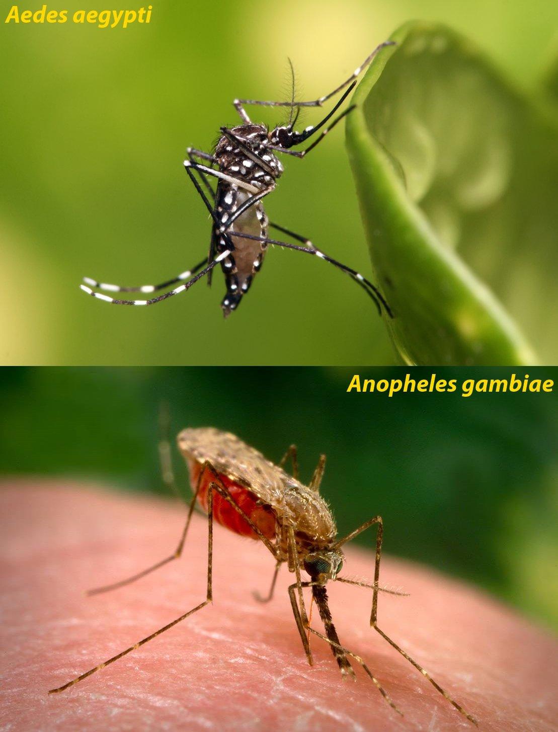 Mosquitoes.jpg#asset:596