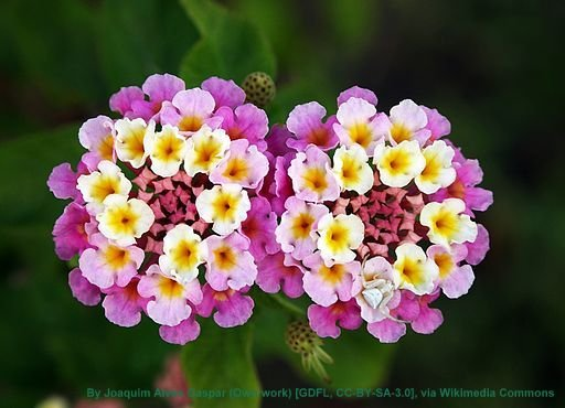 Twin_lantana_camara_edit_attrib.jpg#asse