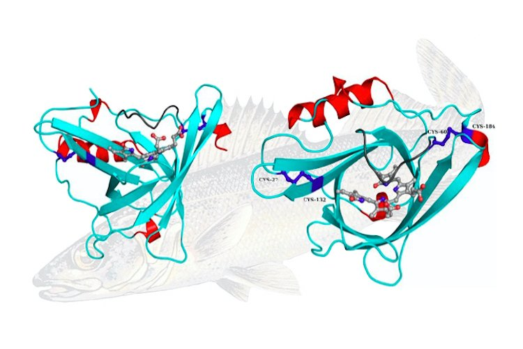 Structures of single subunit of Sandercyanin in two perpendicular orientations with Biliverdin binding. A blue walleye is seen in the background.