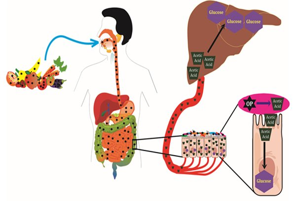 Gut microbiome mediated, OP-induced glucose intolerance. OPs (star), acetic acid (trapezoid), gut microbiota (oval) and glucose (hexagon)