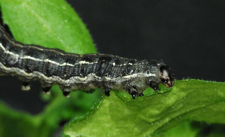 Tobacco cutworm (Spodoptera litura) on Arabidopsis leaf