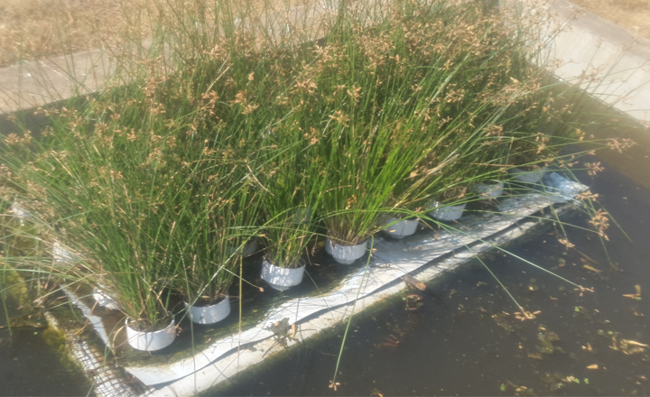 Plant beds for treatment of dye-contaminated water