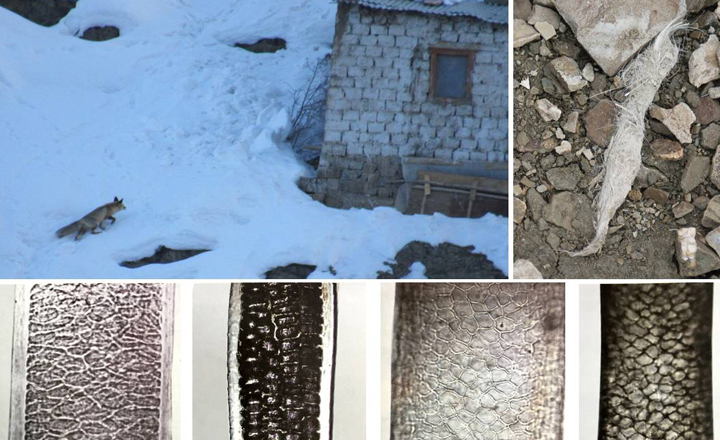 Top left – Red Fox (Vulpes vulpes) approaching a settlement; Top right - Red Fox scat; Bottom (left to right) – Pattern of medulla as seen     under the microscope for Goat, Rodent, Blue sheep (Pseudois nayaur) and Urial (Ovis orientalis) hair