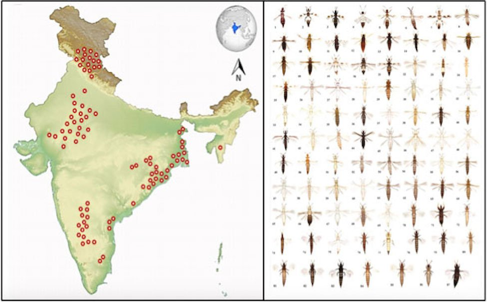 Left: Samples were collected from various regions from India indicated in red. Right: Different species of thrips insects classified on the basis of physical features.